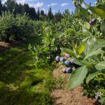 Shingle Mill Blueberry Farm is open for the 2016 Season!